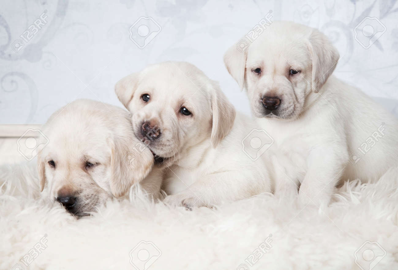 Three Purebred Labrador Puppies Six Weeks Old Lying On A Fur