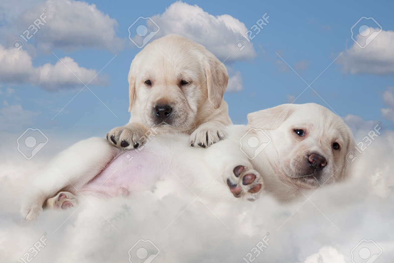 Two Labrador Puppies Lying On A Cloud In Front Of Blue Sky Background Stock Photo Picture And Royalty Free Image Image 58794099