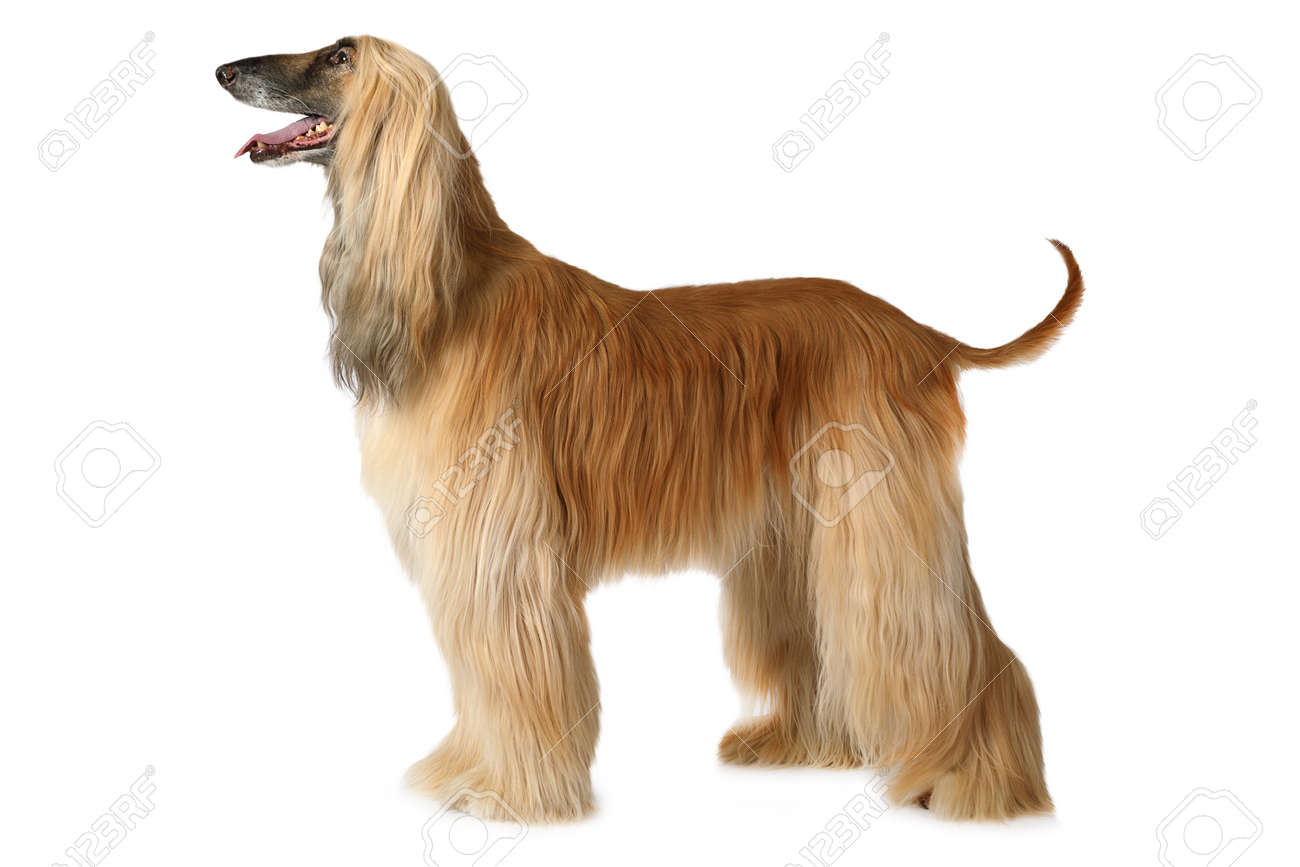 Thoroughbred Afghan hound dog standing in show position isolated on white background - 71156064