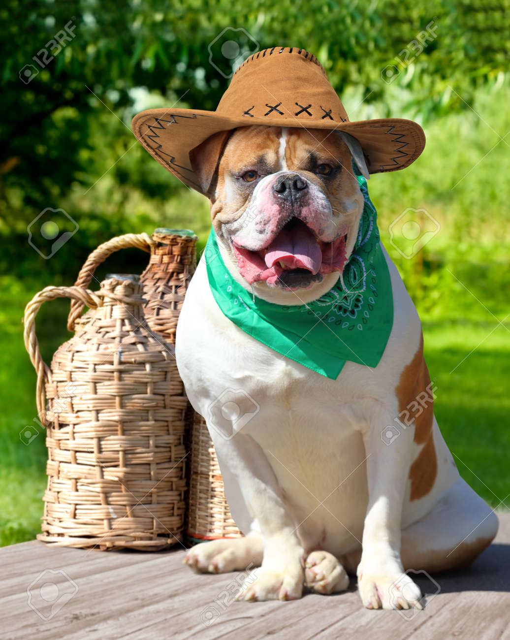 American Bulldog In Cowboy Hat And Handkerchief Sitting Next Stock