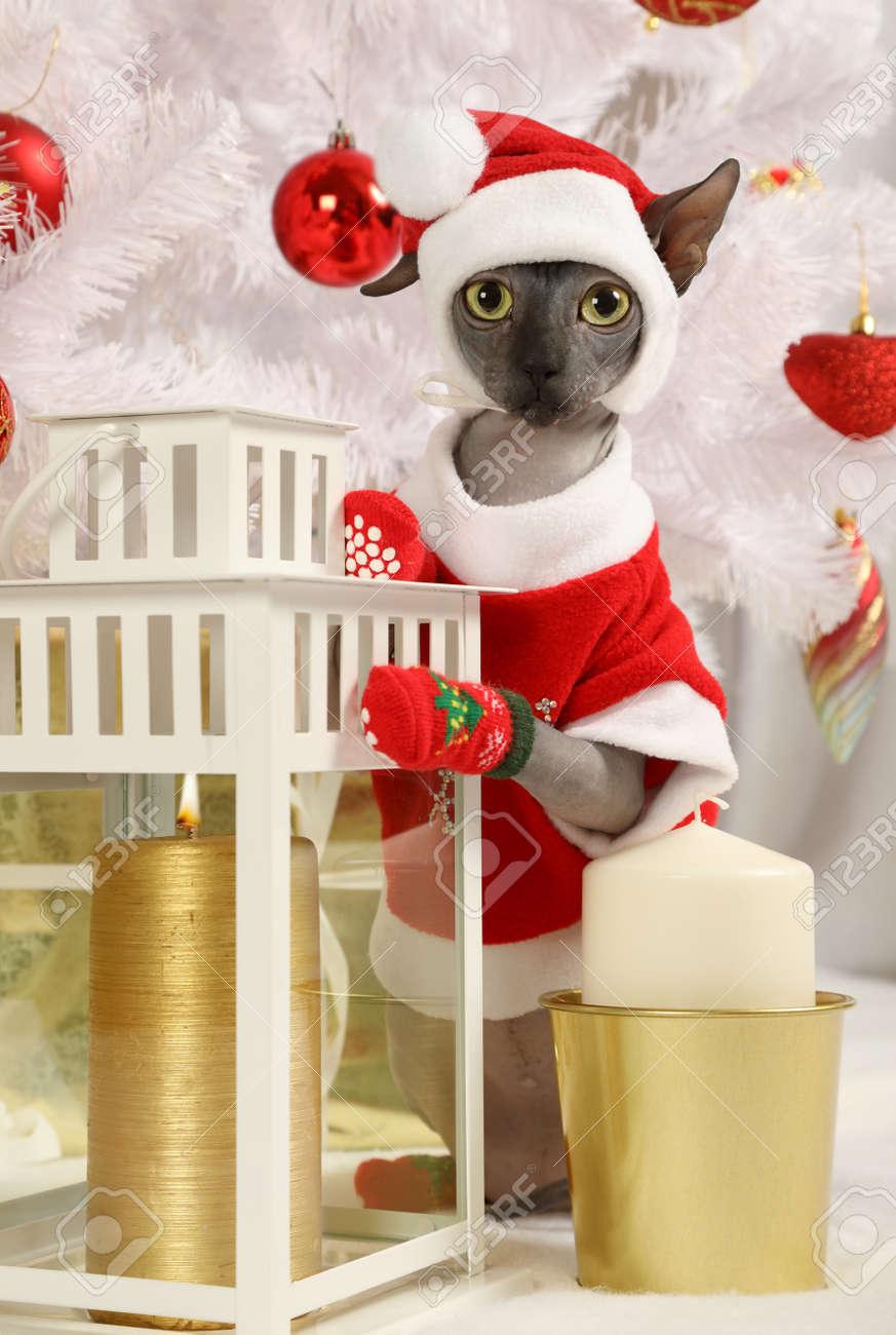 Portrait de Don Sphinx chat habillé dans un costume de Noël sur le fond des  arbres de Noël