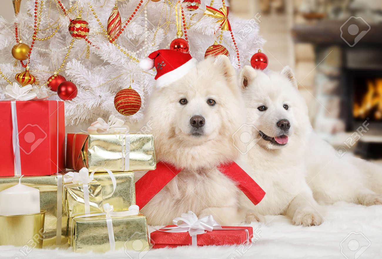 Stock Photo - Two Samoyed dogs in a Santa hat lying under Christmas tree with gifts