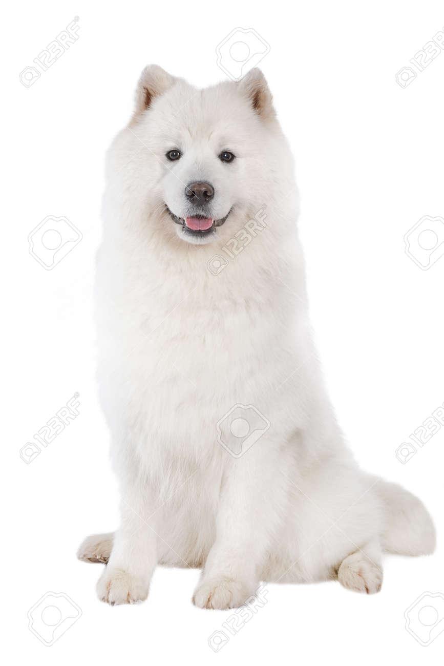 Samoyed dog, looking at camera. Isolated on white background - 92067023