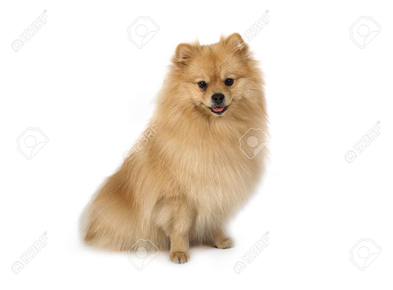 Studio Shot Of An Purebred Pomeranian Dog Sitting On White