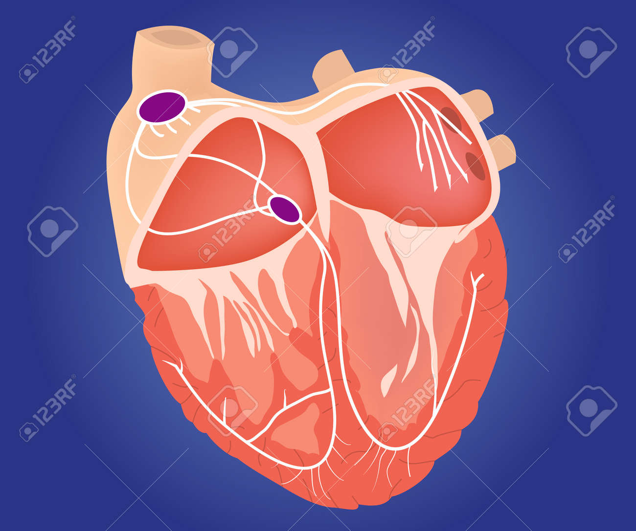 Heart Conduction System Illustration. Heart Chambers With Cardiac ...