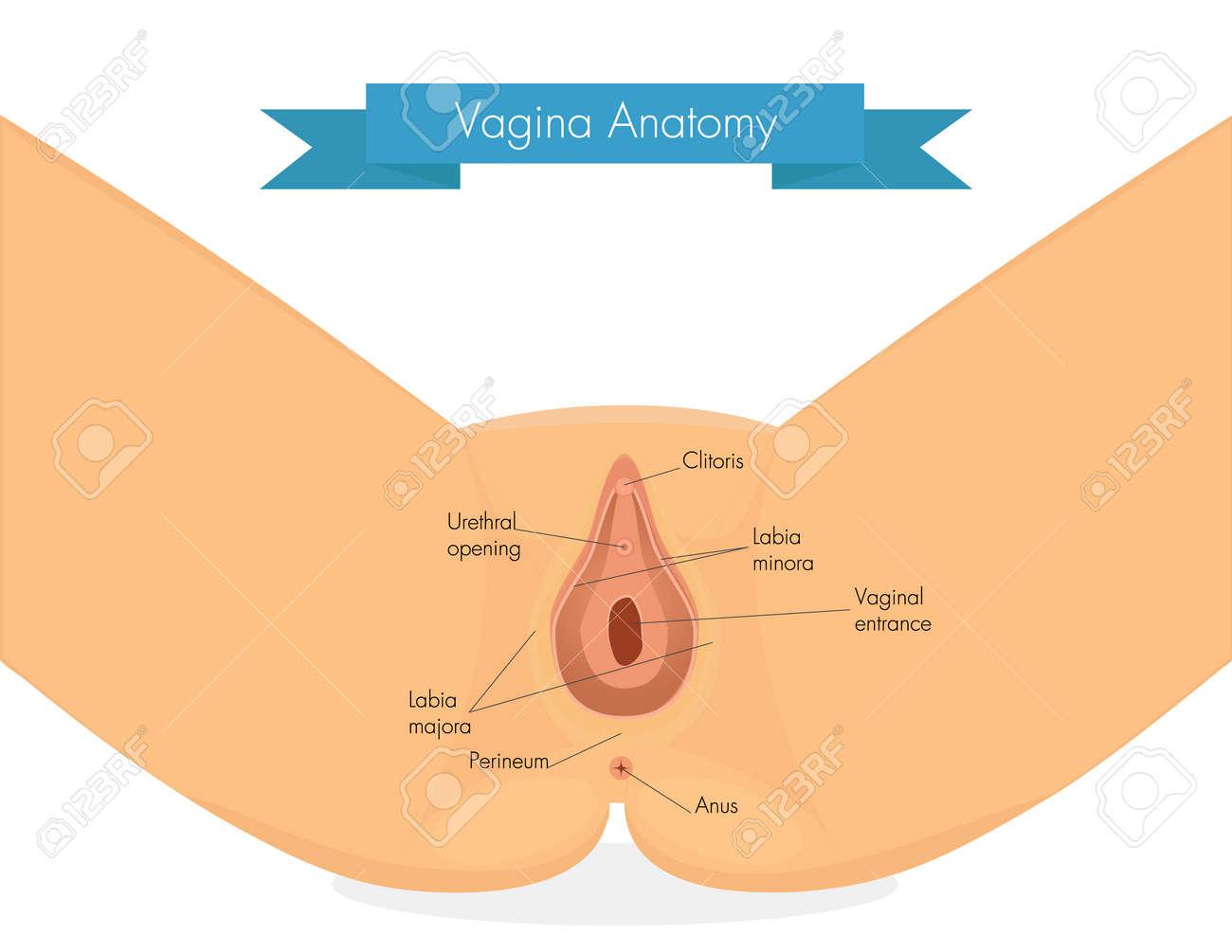 Anatomía De La Vagina. Ilustración Limpio De La Vulva. Ilustraciones ...