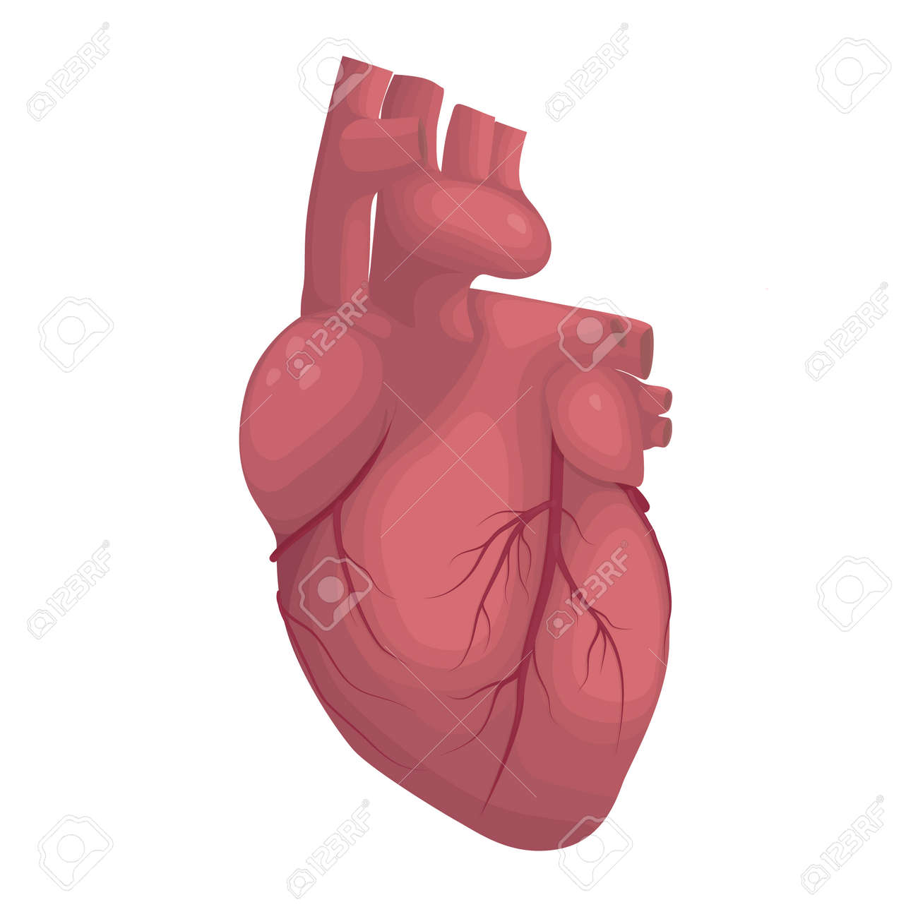 Human Heart Vector Illustration Cardiac Anatomy Royalty Free