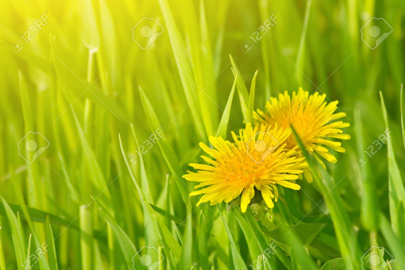 Dandelion flowers in green grass Stock Photo - 7014990
