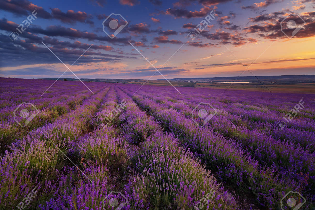 Lavender field under blue sky with clouds on sunset - 30493498