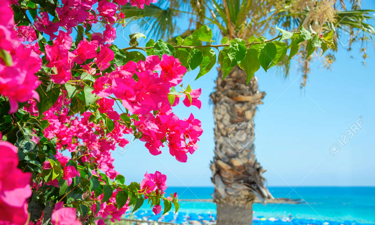 Bright pink flowers palm tree and sea views on the coast of stock bright pink flowers palm tree and sea views on the coast of cyprus stock photo mightylinksfo