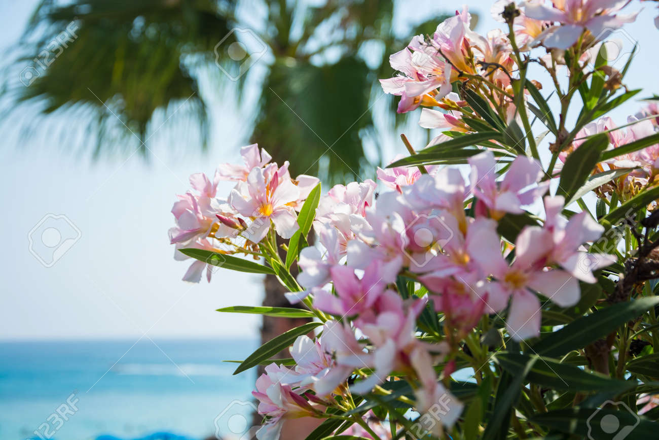 Bright pink flowers palm tree and sea views on the coast of stock bright pink flowers palm tree and sea views on the coast of cyprus stock photo mightylinksfo