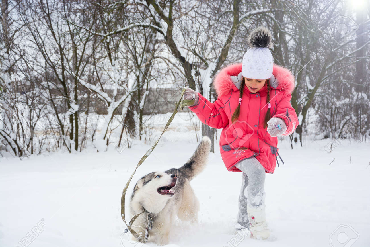 a9c230c4e47 Little girl playing with a Siberian husky breed dog in the winter in the  snow. A girl in a pink jacket and hat runs in the snow next to a Husky