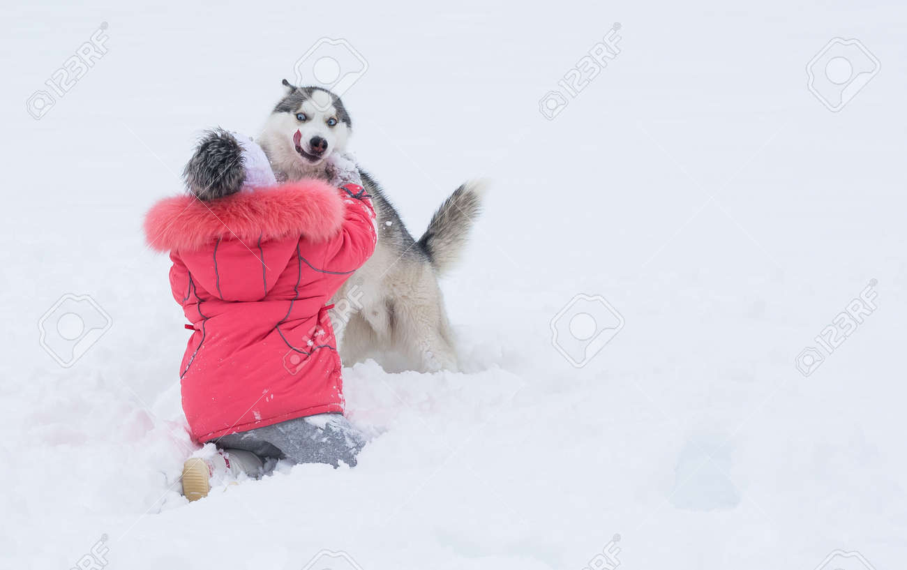 91b727cc36b Little girl playing with a Siberian husky breed dog in the winter in the  snow.