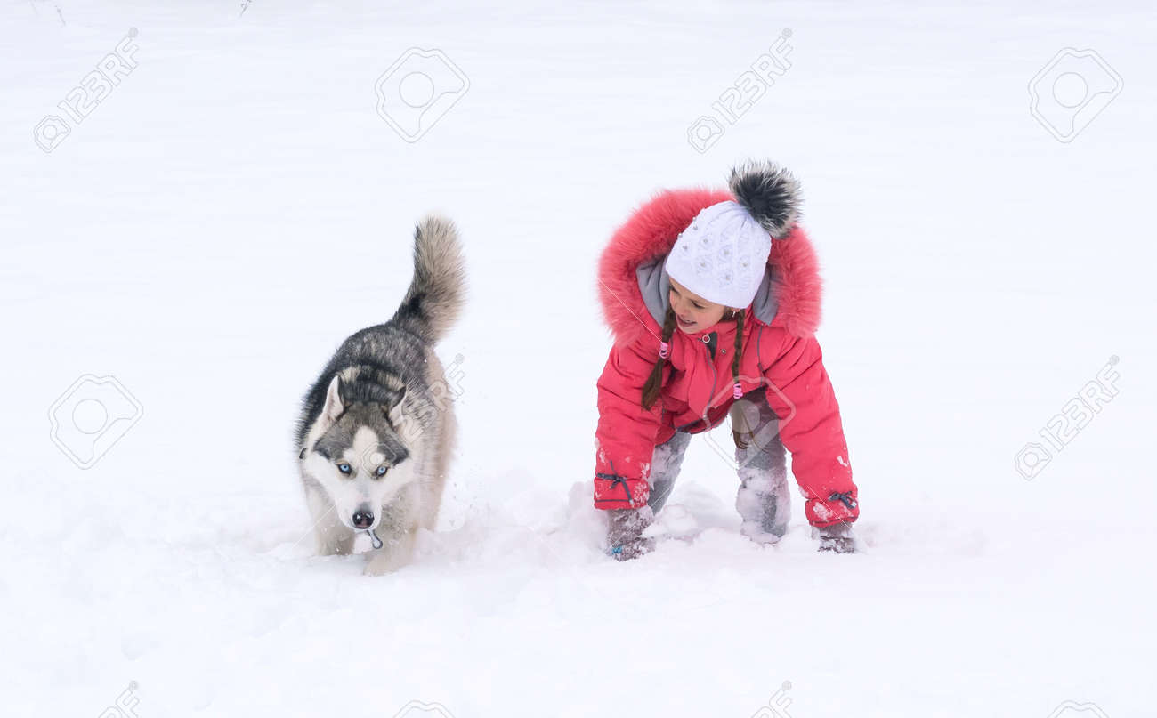 1e0592bf63f Stock Photo - The dog of Siberian husky and the little girl are racing. The  dog of Siberian husky breed runs through the snow.