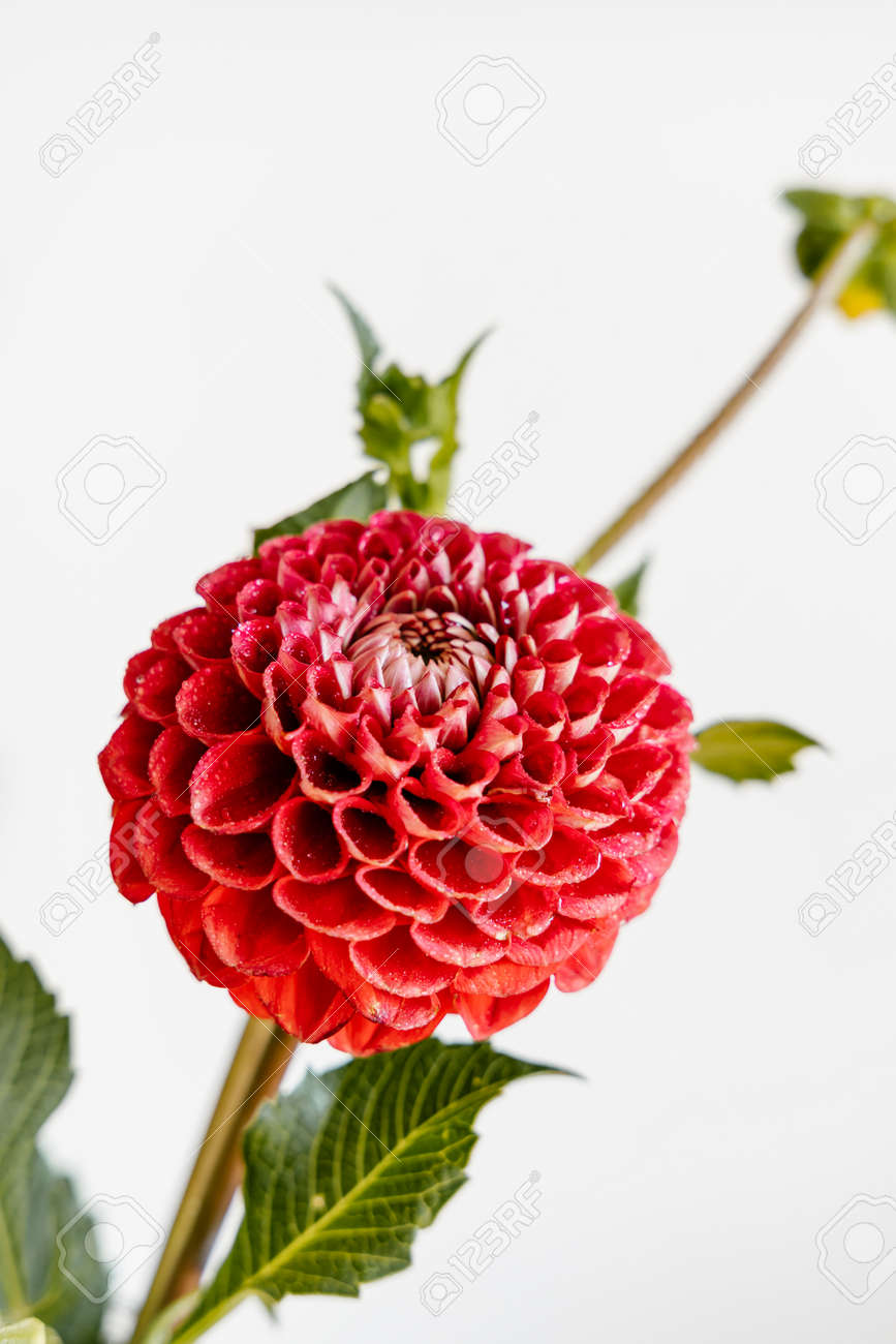 Beautiful red dahlia flower on white background. Festive concept. - 154224111