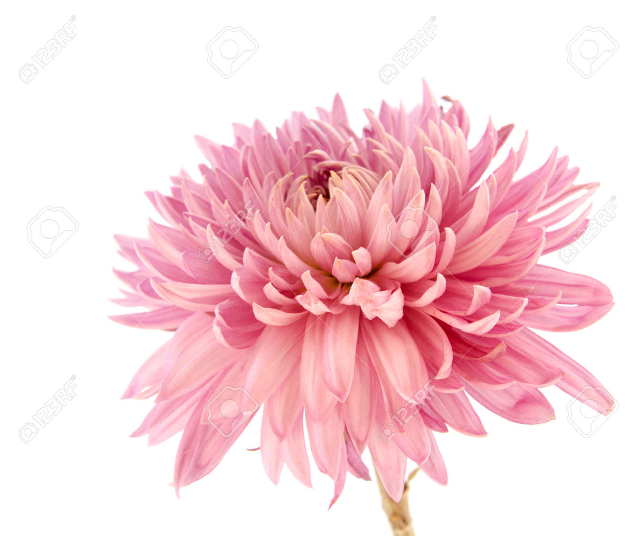 Pink Chrysanthemum Flower On A Long Stem On A White Background
