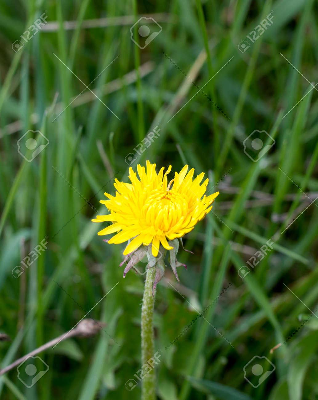 Yellow Flower Dandelion In Spring Bloom Outdoors In Naturecro