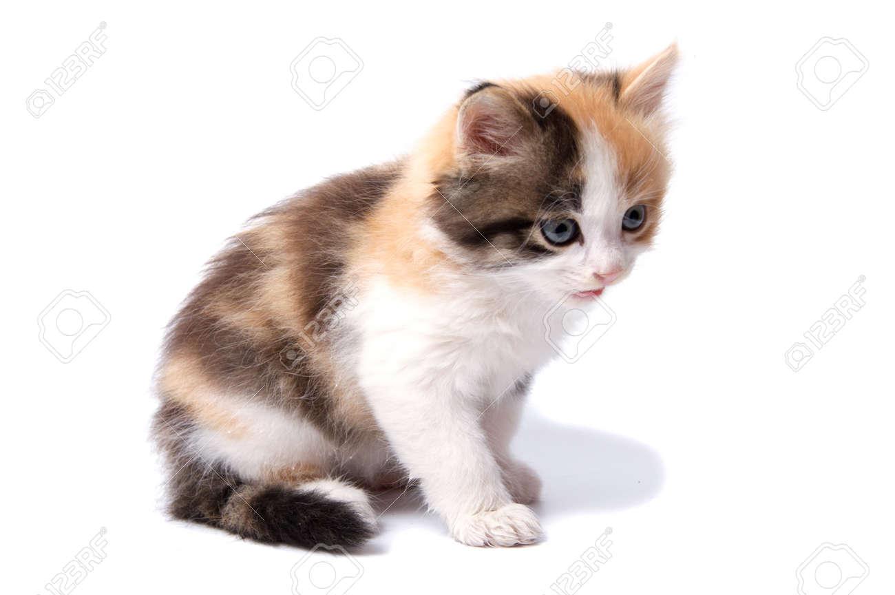 Immagini Stock Un Gatto è Isolato Su Sfondo Bianco Image 91470723