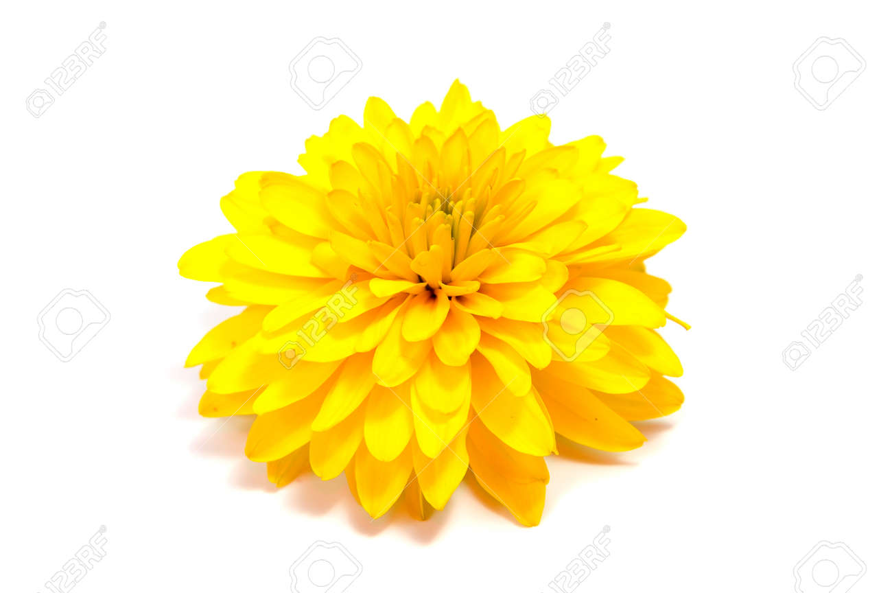 Chrysanthemum Flower On A Long Stem On A White Background Is Stock