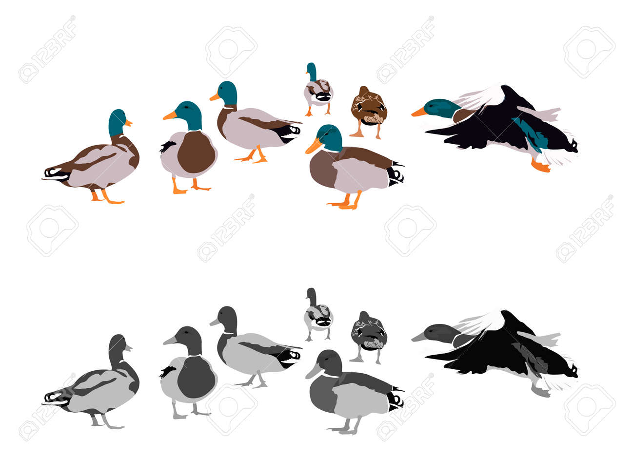 flock of mallards two color versions royalty free cliparts
