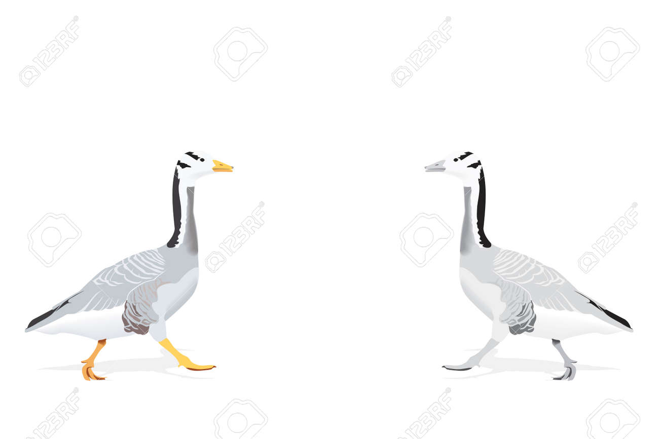 indian goose - considered as one of the highest flying birds, two color versions Stock Vector - 5986148