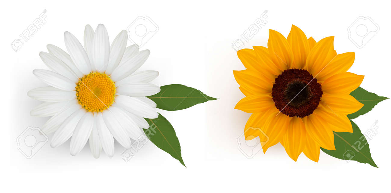 Beautiful daisy and sunflower with leaves. Vector. Stock Vector - 10105307
