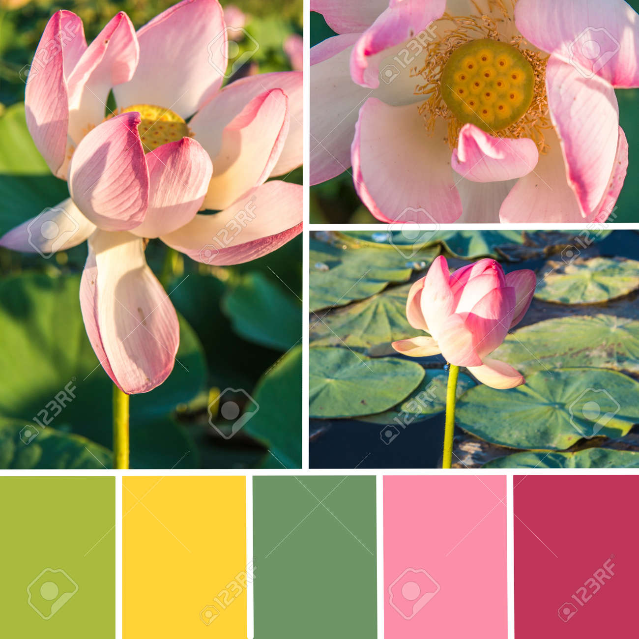 Palette Of Lotus Flowers Color Matching Palette Stock Photo
