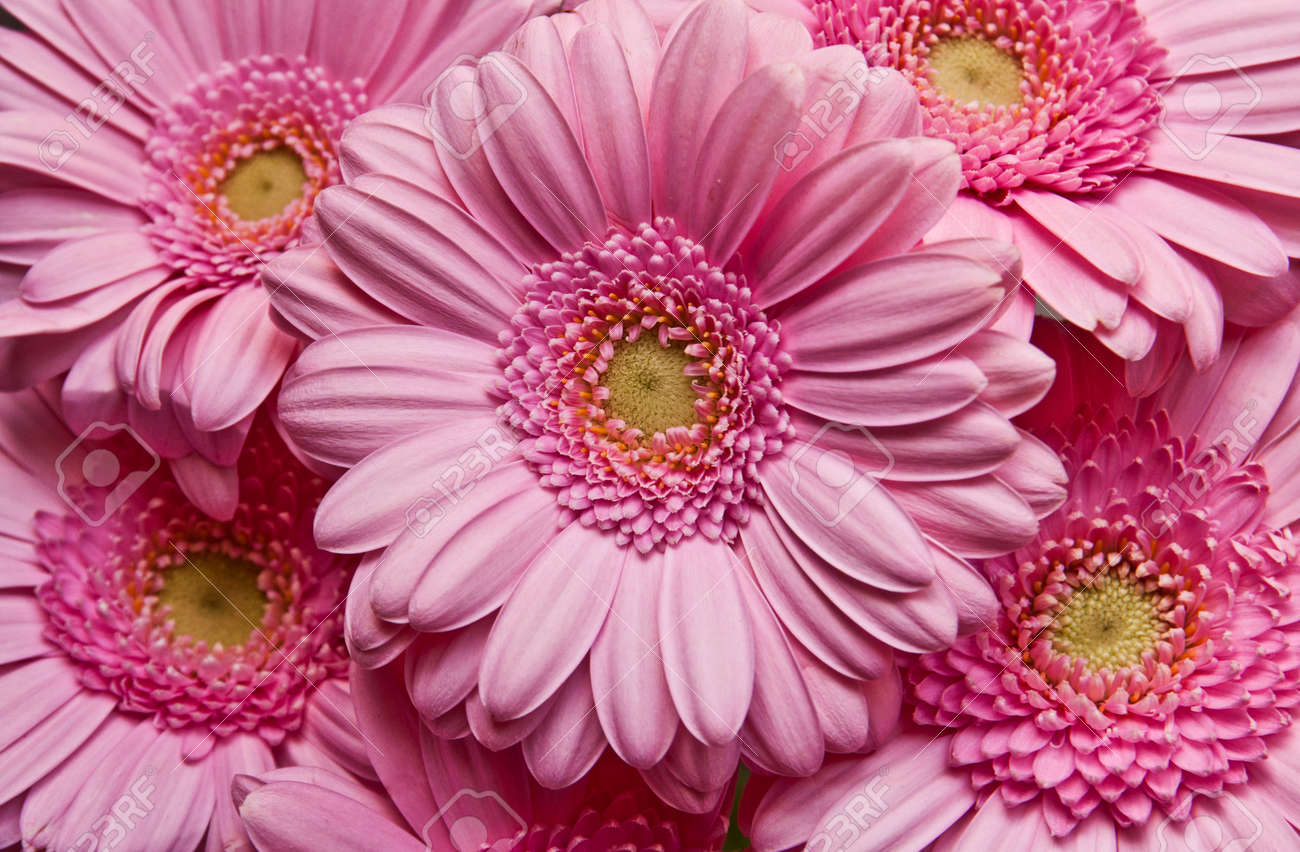 Antecedentes De Cerca De Multiples Flores De Color Rosa Margarita