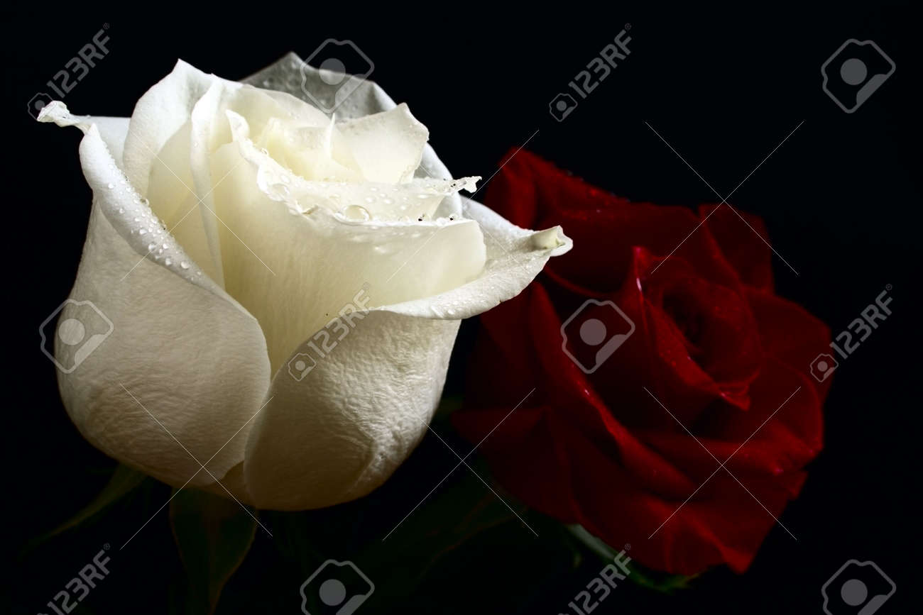 Red and white roses with water drop on black background