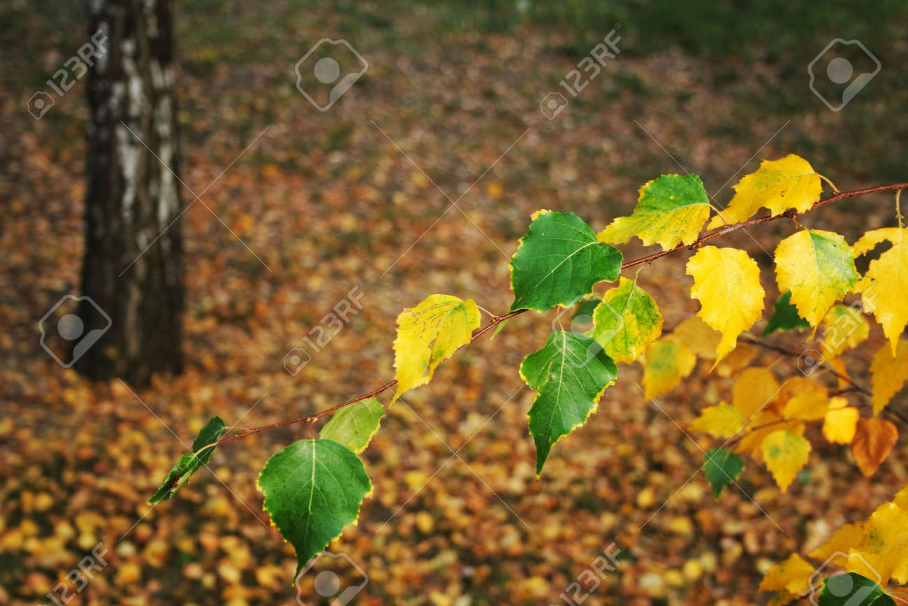 quiet yellow autumn in the city park and birch branch Stock Photo - 5767118