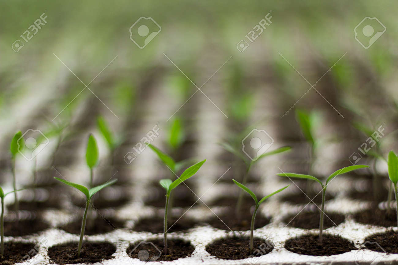 Tomato seedlings sprout - 51172877