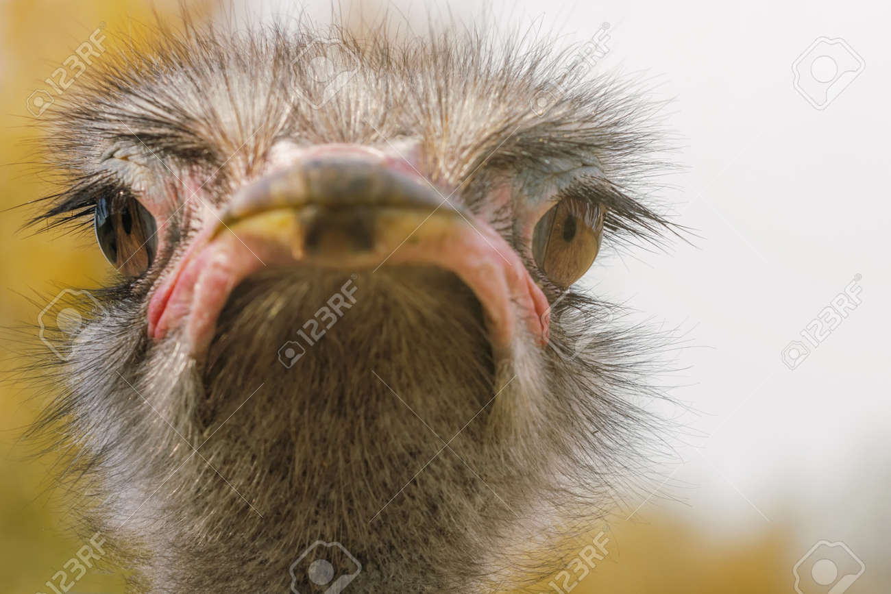 Ostrich Close up portrait, Close up ostrich head (Struthio camelus) - 111826546