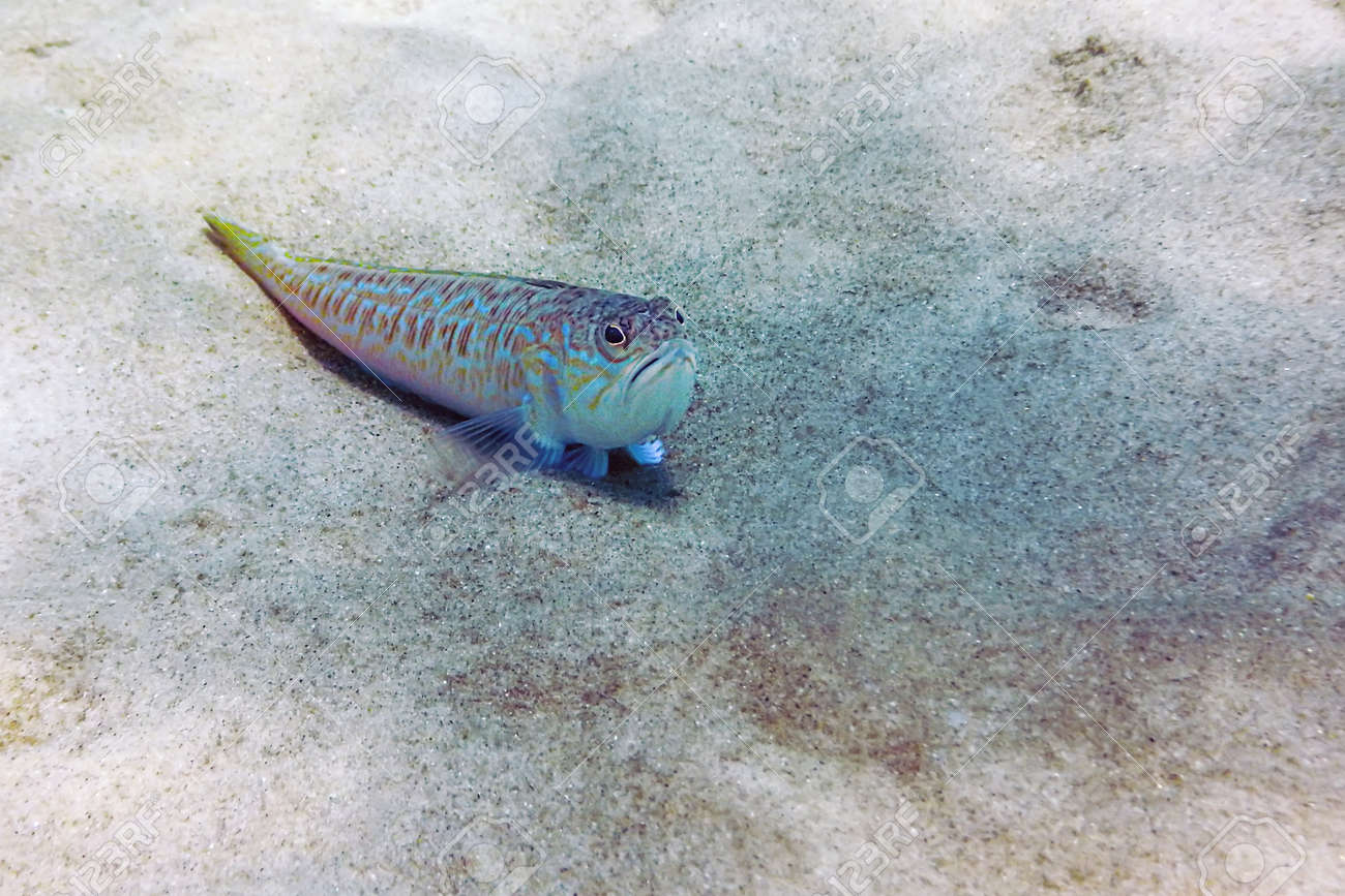 Greater weever on sandy sea floor (Trachinus draco) - 114893075