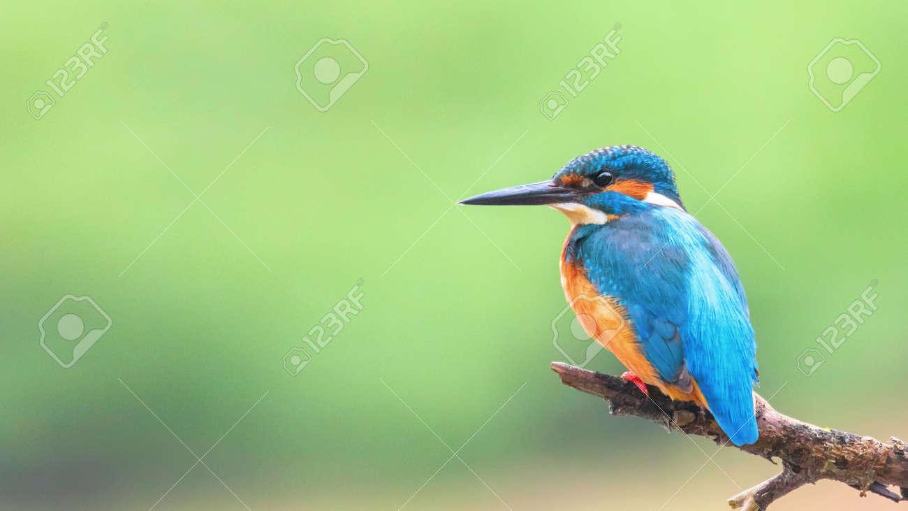 Common Kingfisher (Alcedo atthis) Eurasian Kingfisher Bird sitting on a Branch - 120709815