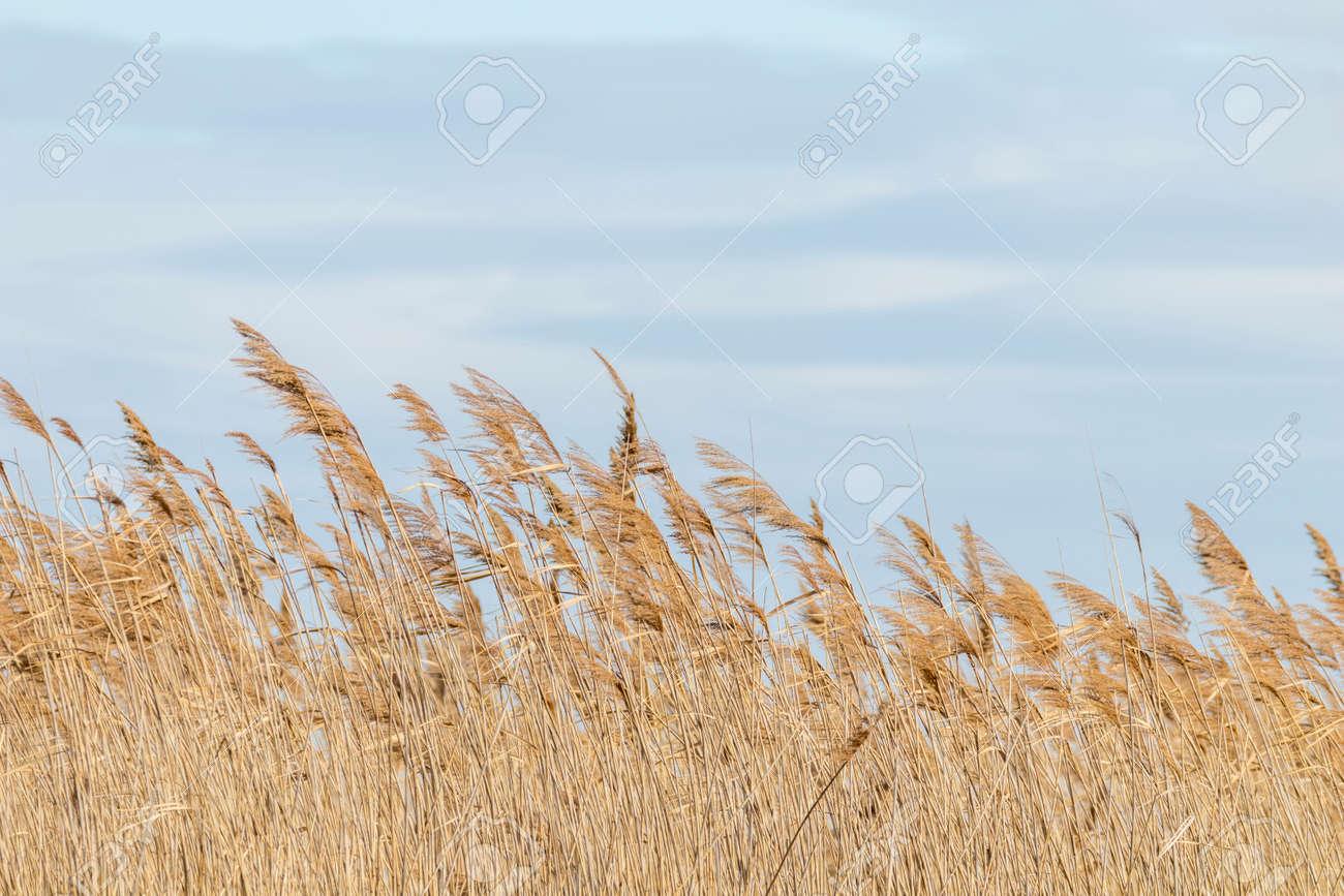 Common reed, Dry reeds, blue sky, (Phragmites australis) - 127213669