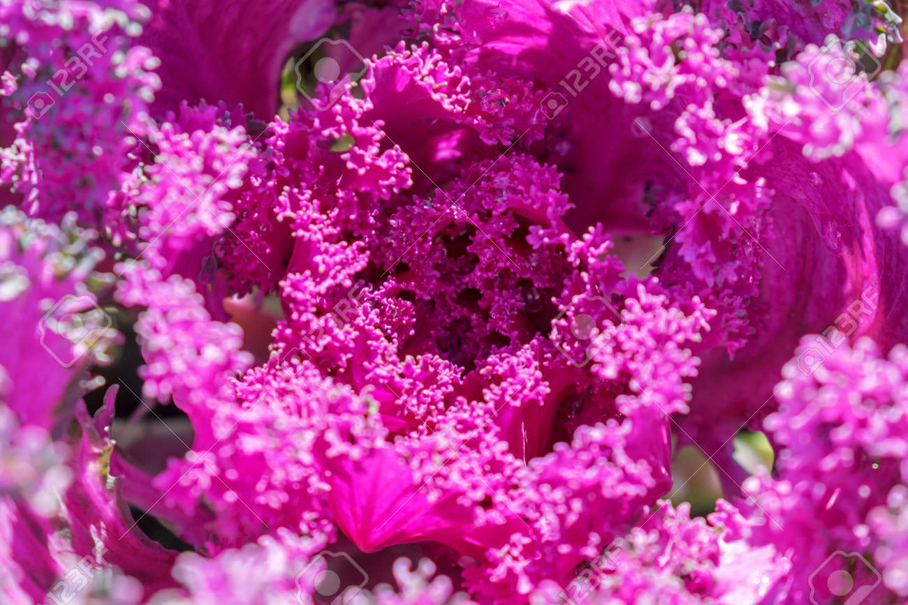 Decorative Cabbage Close Up Ornamental Cabbage Flowering Purple