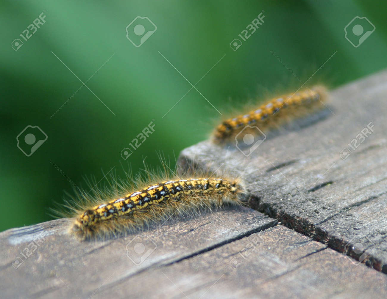 yellow and black caterpillars bask in the sun stock photo picture