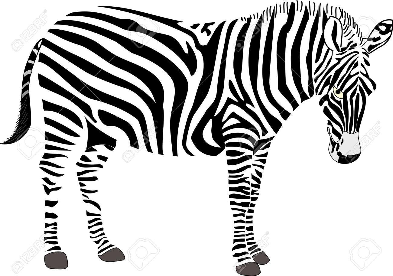 Zebra Vector Illustration - 138152631