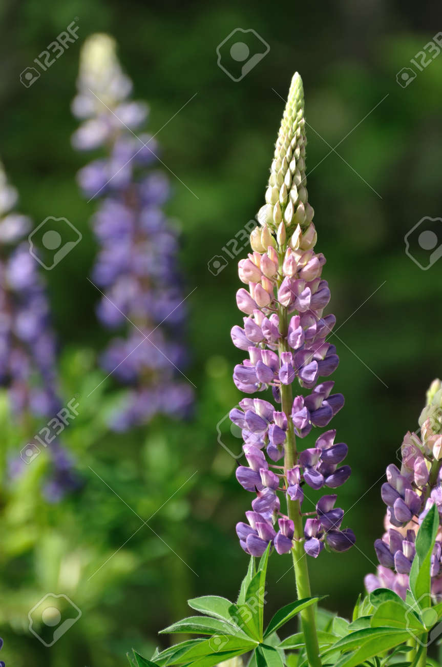 Purple Wild Lupines on a Sunny Spring Morning Stock Photo - 12649957