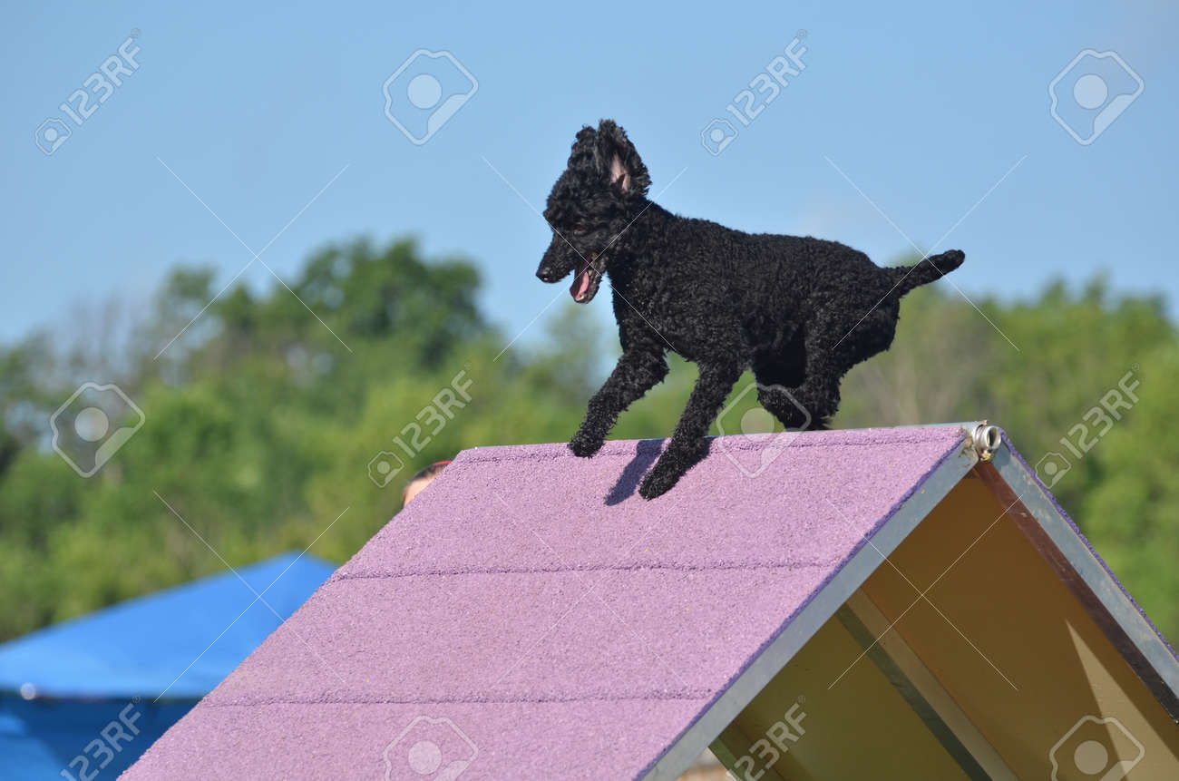 Black Miniature Poodle Climbing An A-frame At A Dog Agility Trial ...