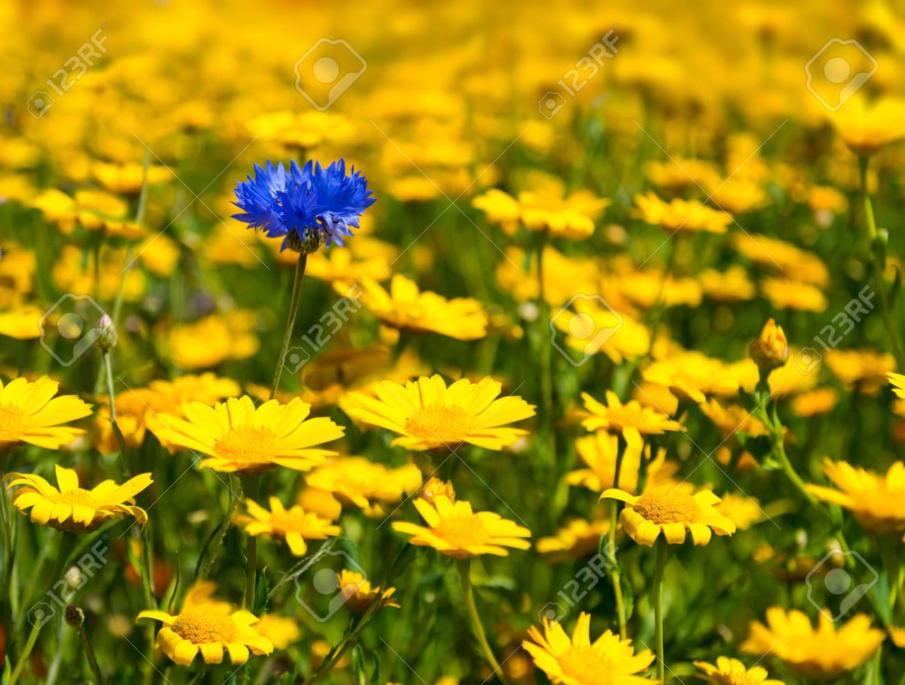 Yellow wild flowers fill every inch of this meadow as far as stock stock photo yellow wild flowers fill every inch of this meadow as far as the eye can see except for a single blue cornflower peeping out from between mightylinksfo