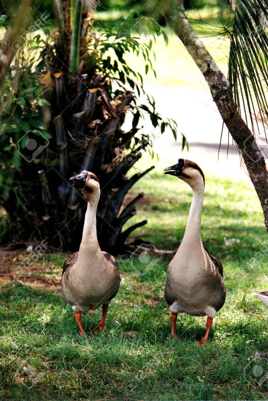 Wild Geese   Ballina Bicentennial Gardens Stock Photo   62846882