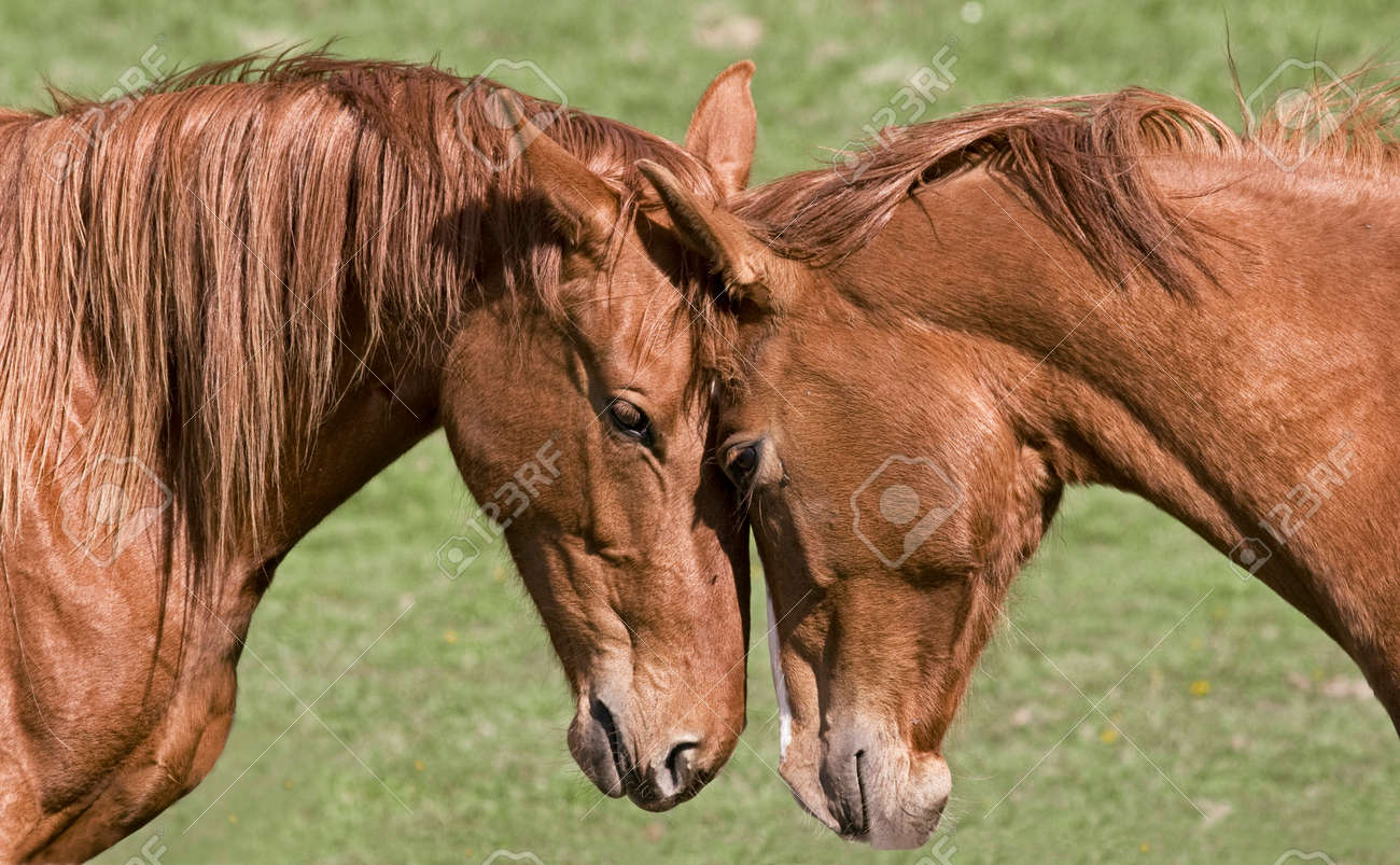 Two beautiful horses greet each other stock photo picture and stock photo two beautiful horses greet each other m4hsunfo