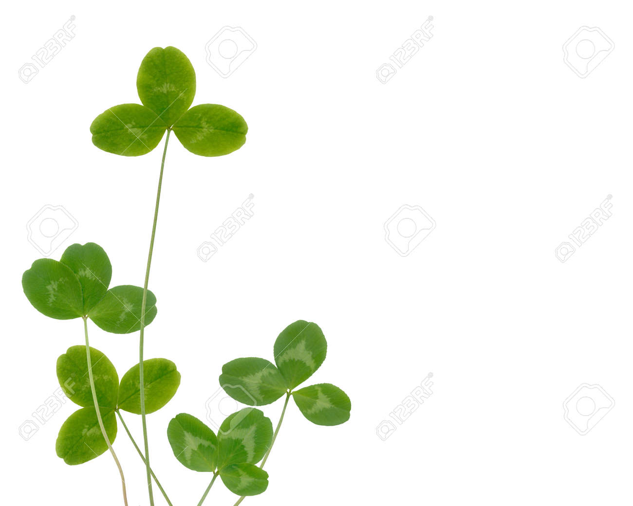 clover leaves on a white background Stock Photo - 18395433