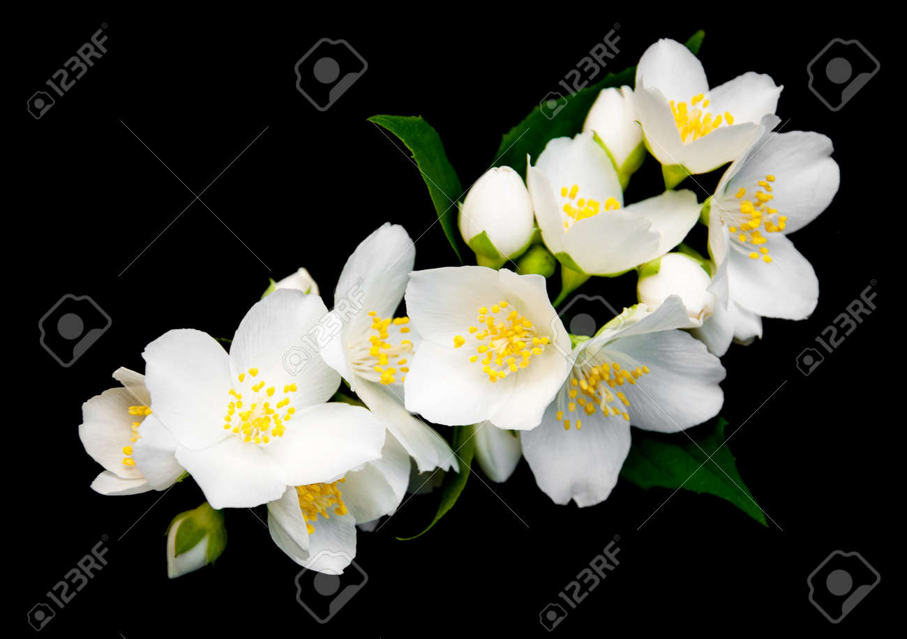 Jasmine Flowers Isolated On A Black Background Stock Photo Picture
