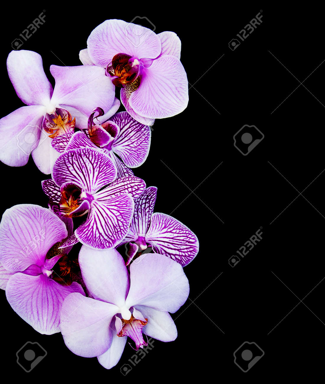 Pink Orchids Flowers Isolated On A Black Background Stock Photo