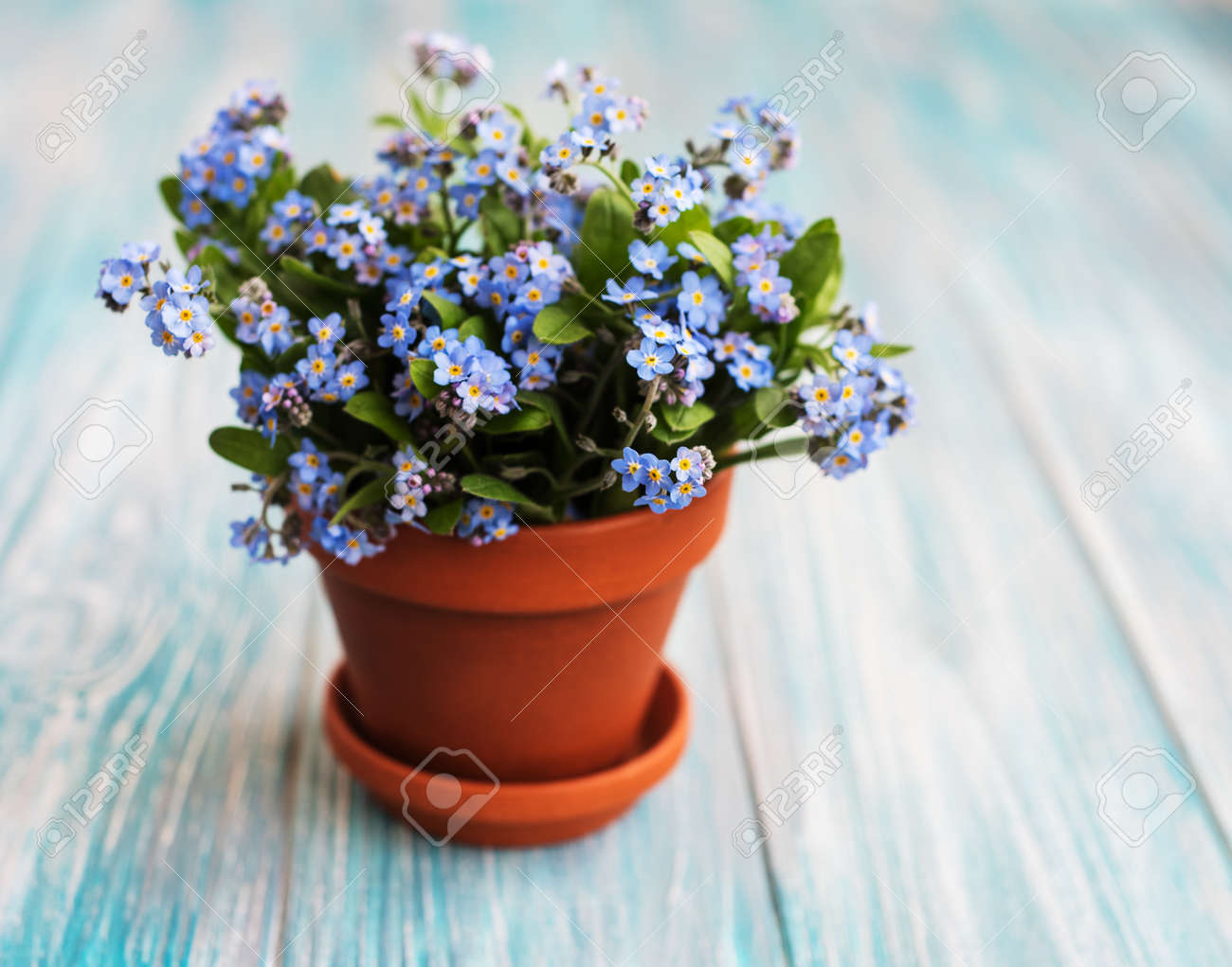 123RF.com & Forget-me-not flowers in small flower pot on a table