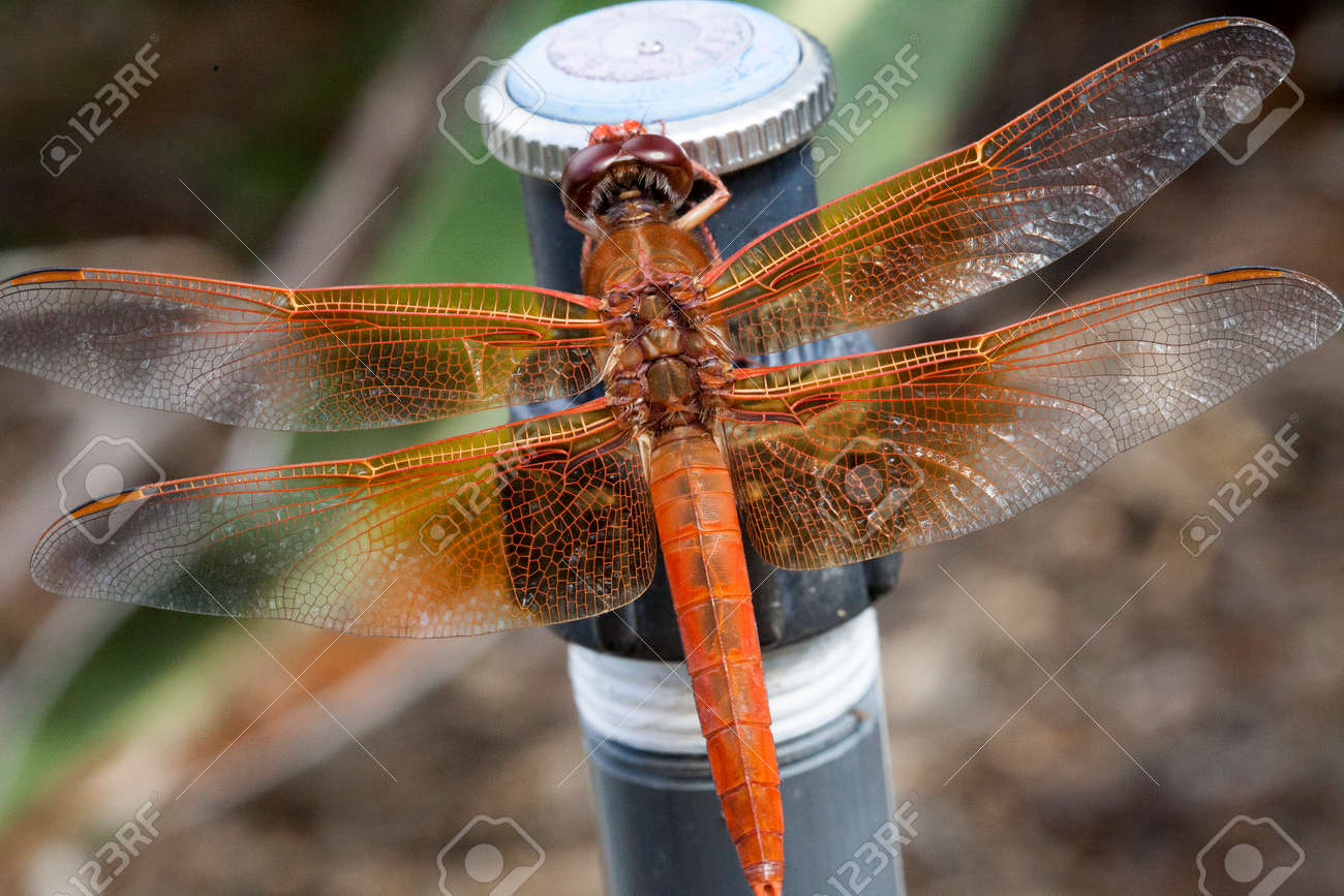 Orange Dragonfly With Transparent Wings Perched On A Sprinkler ...