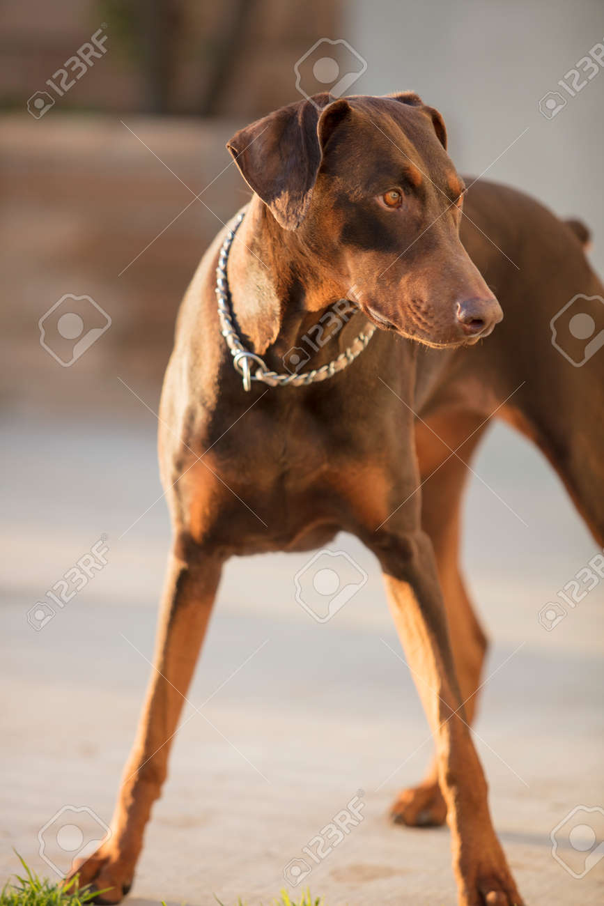 red doberman pinscher standing in a patio focused on owner s stock