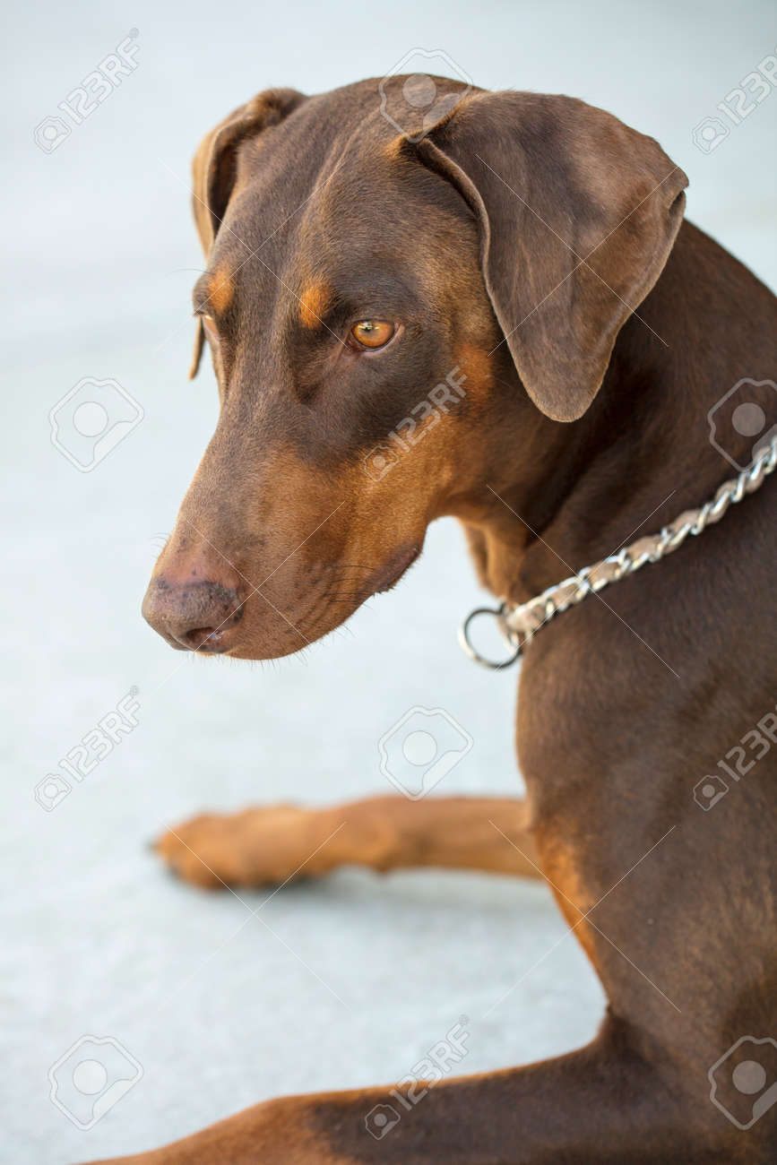 close up of red doberman pinscher sitting in a park on grassy